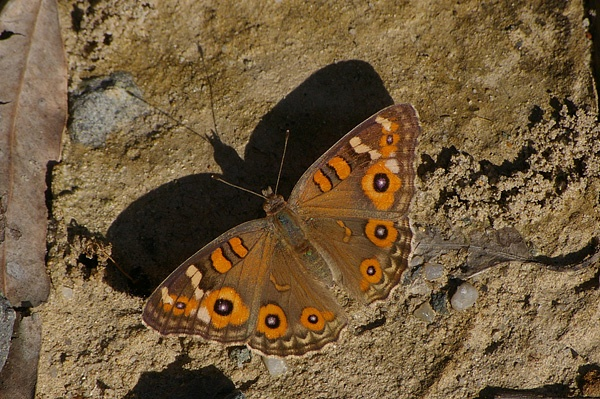 Meadow Argus | Junonia villida photo