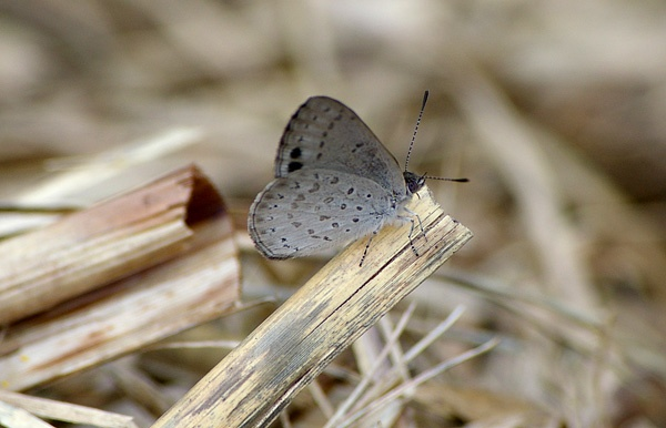 Varied Dusky-blue | Candalides hyacinthina photo