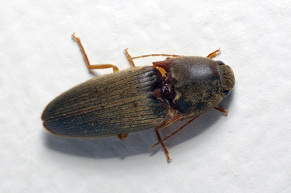 Click Beetle | Elateridae family  photo