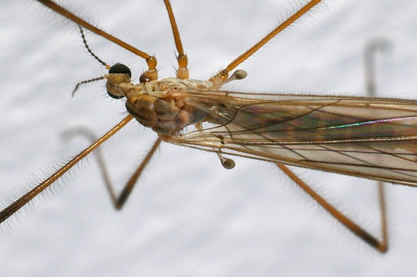 Crane Fly | Tipulidae family  photo