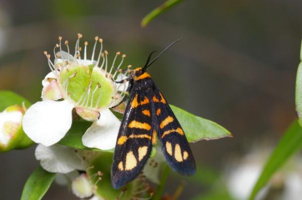 Tiger Moth   Arctiidae family  photo