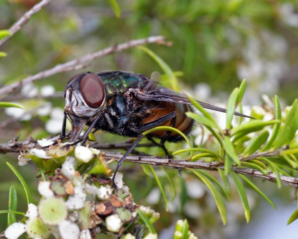Tachnid Fly | Rutilia sp photo