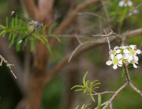 Gasteruptiid Wasp | Gasteruption sp photo