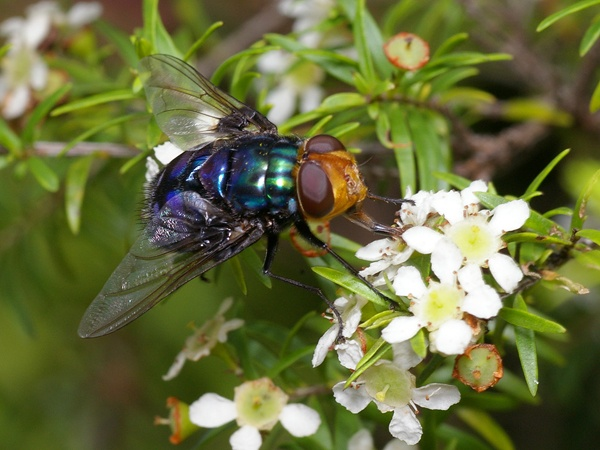 Blowfly | Amenia unknown species photo
