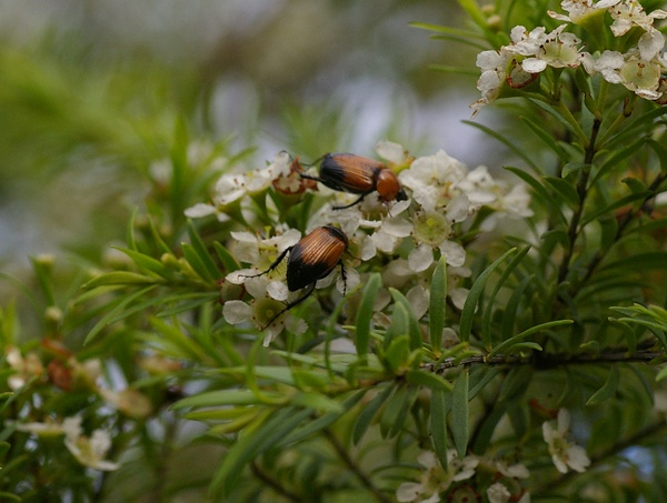 Nectar Scarab | Phyllotocus apicalis photo