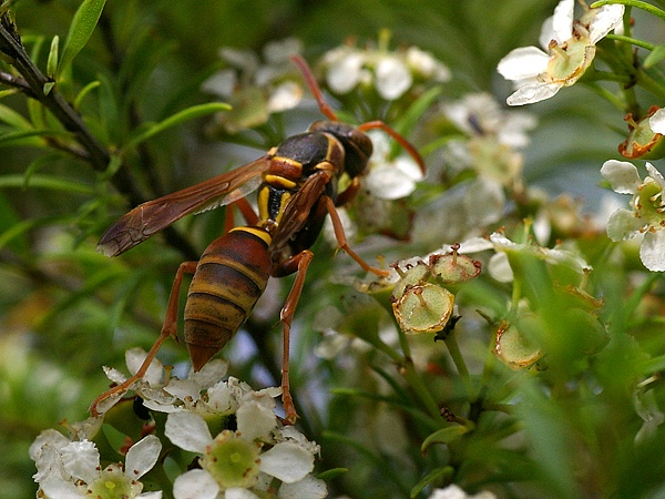 Paper Wasp | Polistes sp photo