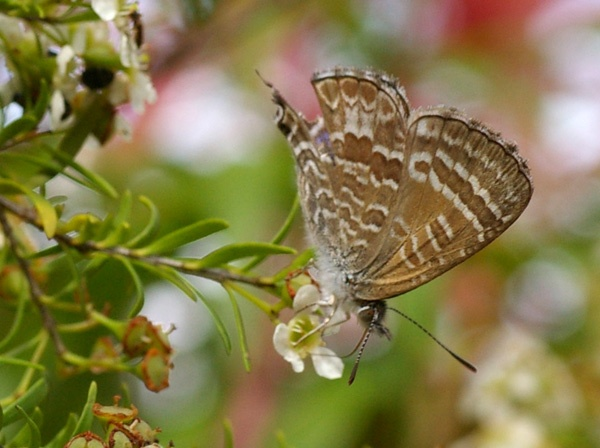 Cycad Blue Butterfly | Theclinesthes onycha photo