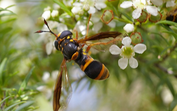 Wasp-mimicking Hover Fly | Ceriana sp photo