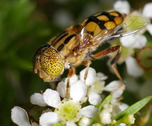 Native Drone Fly   Eristalinus punctulatus photo