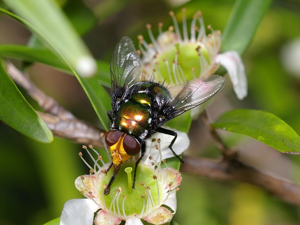 Snail Parasite Blowfly | Amenia imperialis photo