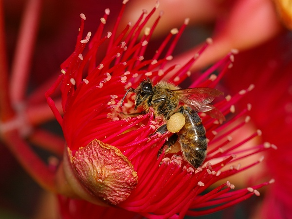 Honey Bee | Apis mellifera photo