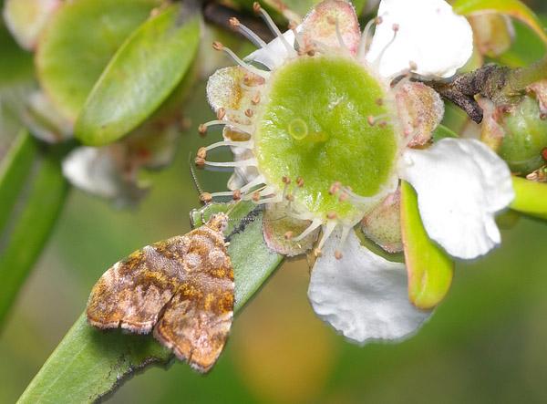 Metalmark Moth | Choreutis ophiosema photo