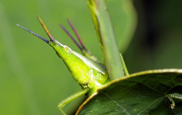 Vegetable Grasshopper | Atractomorpha sp photo