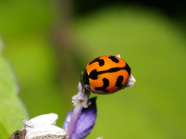 Transverse Ladybird   Coccinella transversalis photo