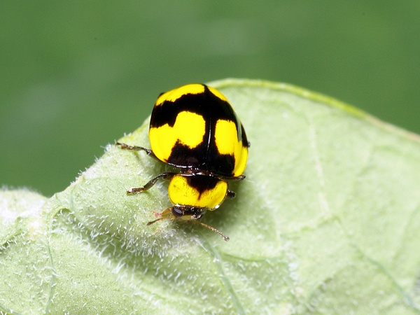 Fungus-eating Ladybird | Illeis galbula photo