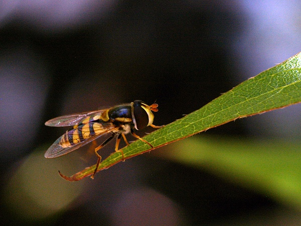 Common Hover Fly | Ischiodon scutellaris photo