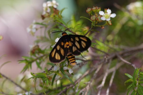 Orange Spotted Tiger Moth | Ceryx sp photo