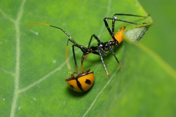 Assassin Bug | Pristhesancus plagipennis photo