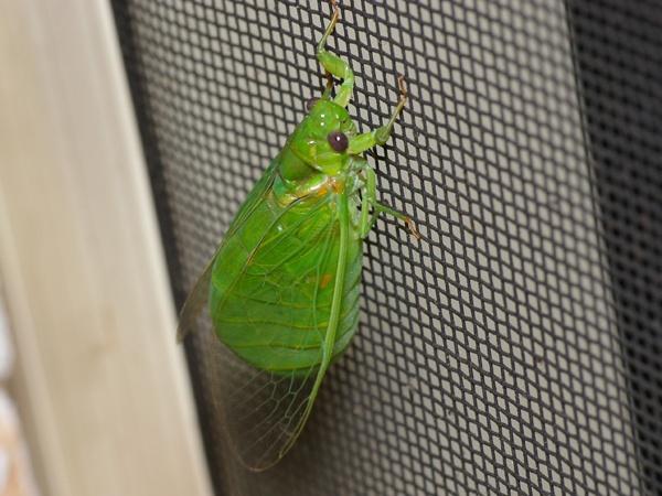 Lesser Bottle Cicada | Chlorocysta vitripennis photo