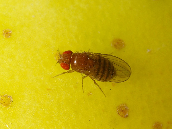 Vinegar Fly | Drosophila sp photo
