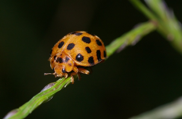 Twenty Eight Spot Ladybird | Henosepilachna vigintioctopunctata photo