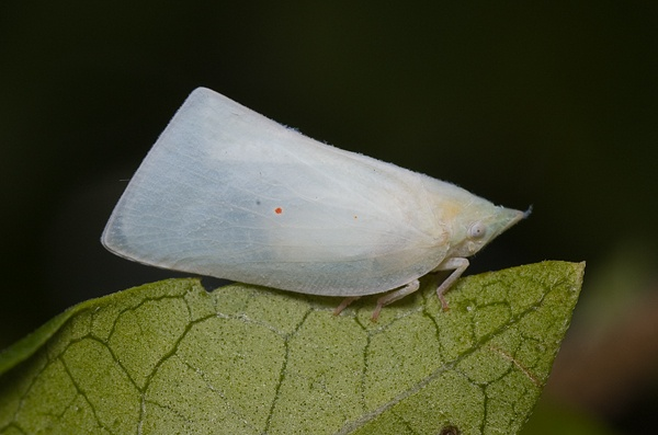 Mango Planthopper | Colgaroides acuminata photo