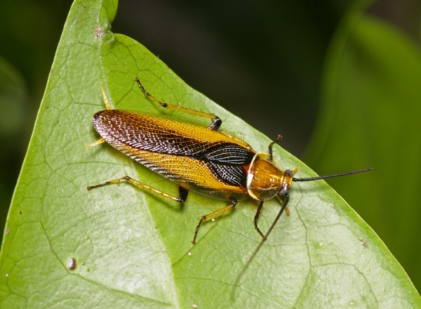 Ellipsidion Cockroach | Ellipsidion sp photo