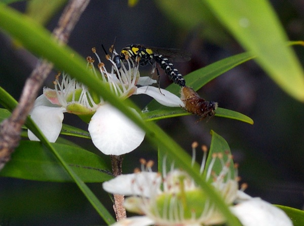 Flower Wasp | Tiphiidae family  photo