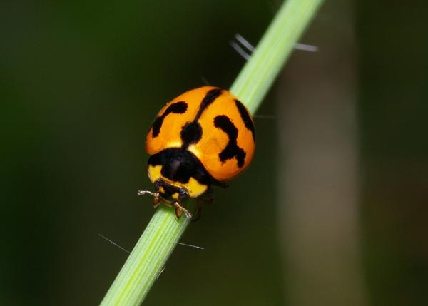 Transverse Ladybird | Coccinella transversalis photo