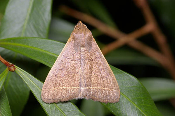 no common name | Simplicia caeneusalis photo