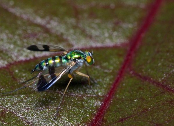 Long Legged Fly | Austrosciapus connexus photo