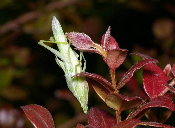 Vegetable Grasshopper   Atractomorpha sp photo