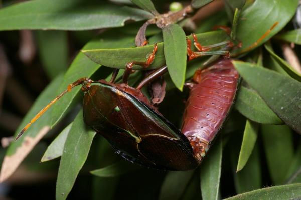 Bronze Orange Bug   Musgraveia sulciventris photo