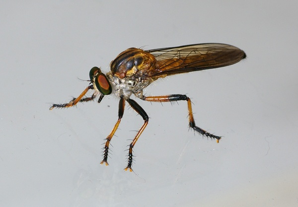 Robber Fly | Asilidae family  photo