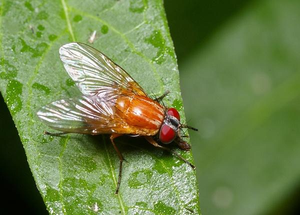 Bush Fly   Dichaetomyia sp photo