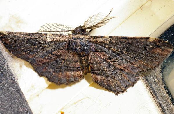 unknown | Geometridae family sp4 photo