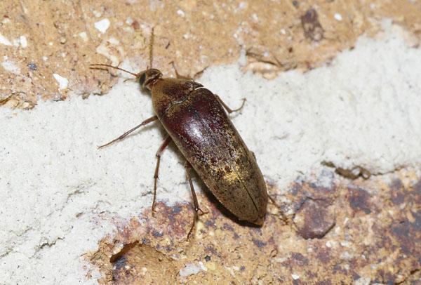 Humped-backed Beetle   Rhipiphoridae family sp2 photo