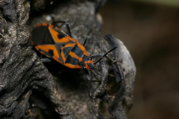 Milkweed Bug   Spilostethus sp photo