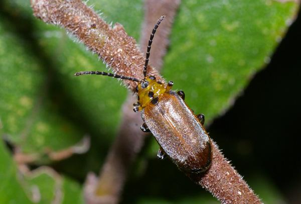 Fig Tree Leaf Beetle | Poneridia semipullata photo
