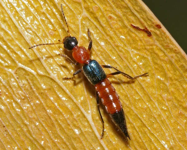 Rove Beetle | Staphylinidae family  photo