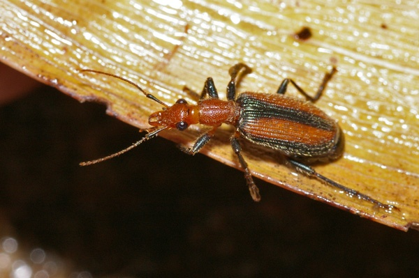 Ground Beetle | Drypta sp photo