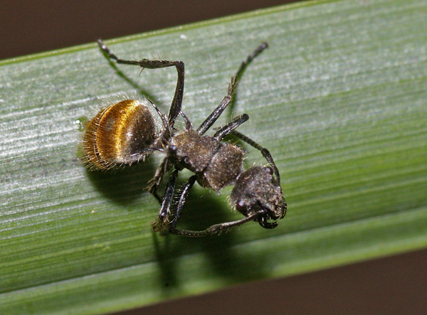 Golden-tailed Spiny Ant | Polyrhachis ammon photo