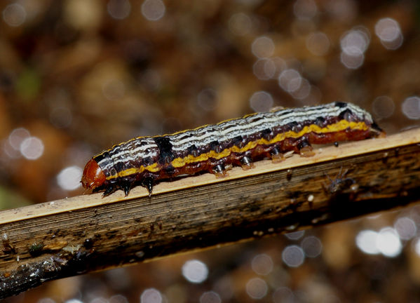 Lily caterpillar | Spodoptera picta photo