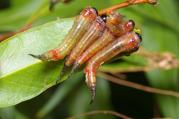Sawfly | Pergidae family  photo