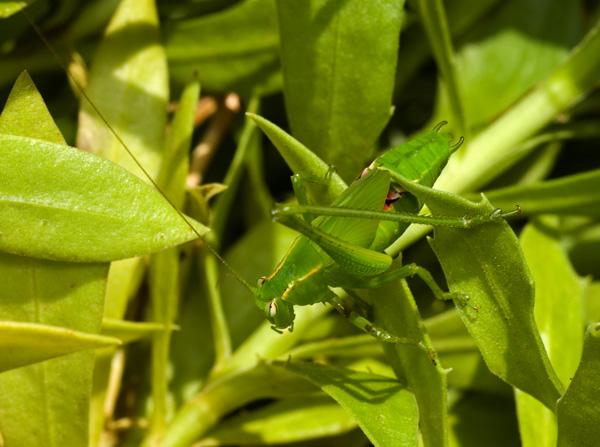 Common Garden Katydid | Caedicia simplex photo