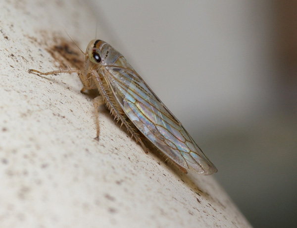 Leafhopper | Cicadllidae family spp photo