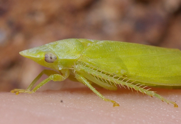 Flat-head Leafhopper | Cicadllidae family sp1 photo