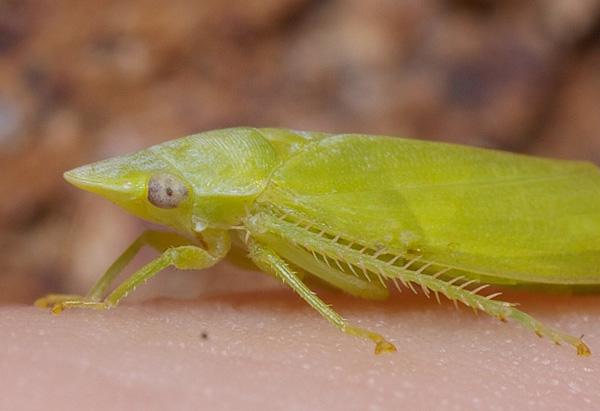 Flat-head Leafhopper | Cicadllidae family sp1 photo