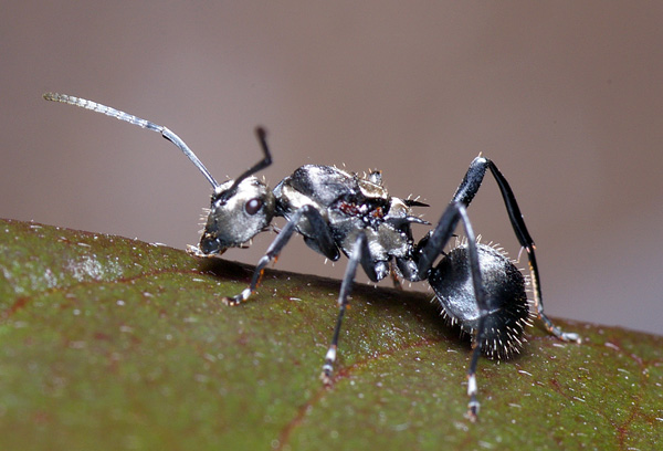 Spiny Ant | Polyrhachis sp1 photo