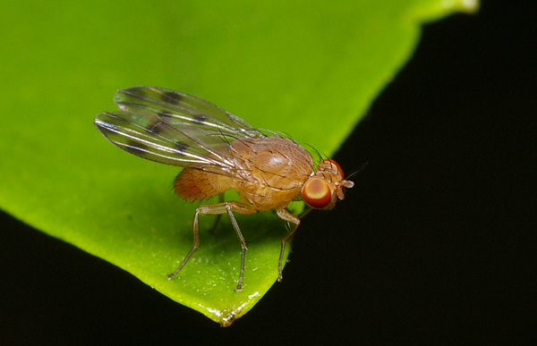 no common name | Homoneura sp photo